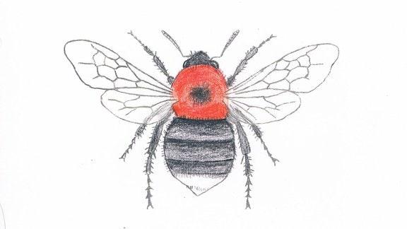 Zeichnung eiuner Baumhummel
