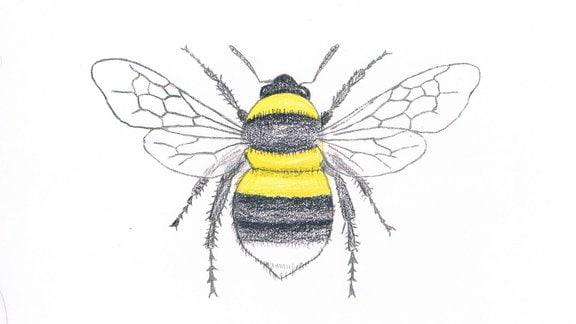 Zeichnung einer Gartenhummel