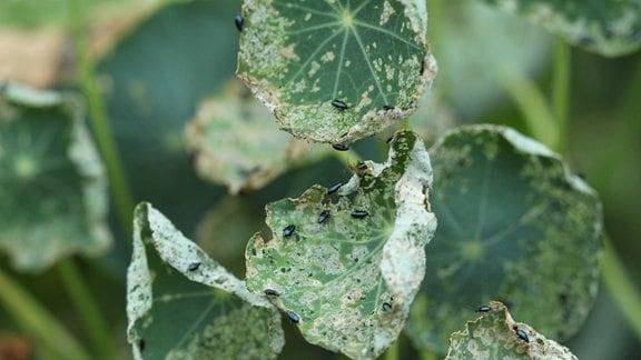 Erdflöhe sitzen an einem zerfressenen Blatt der Kapuzinerkresse