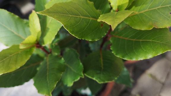 Lorbeerpflanze im Kübel