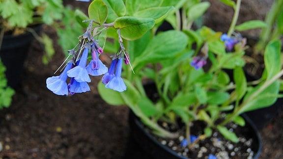 Blauglöckchen mit länglichen, blau-violetten Blüten und grünen, ovalen Blättern im Topf