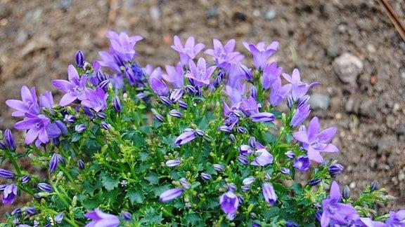Glockenblume Campanula mit zahlreichen dunkellila Blüten