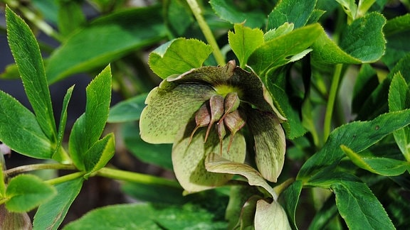 Braun-grün gesprenkelte Blüte einer Lenzrose mit deutlich sichtbarem Samenansatz