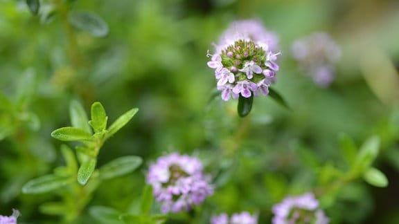 Eine Thymian-Pflanze steht in voller Blüte