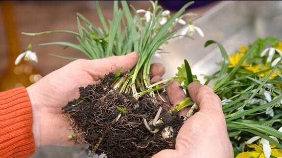 Hände teilen den Zwiebelballen einer Schneeglöckchen-Pflanze.