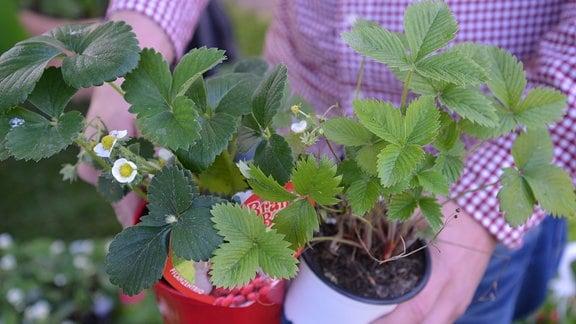 Zwei Blumentöpfe mit unterschiedlichen Erdbeerpflanzen in einer Hand.