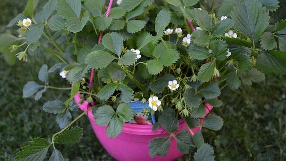 Blühende Erdbeerpflanze der Sorte 'Waldfruchtstar'