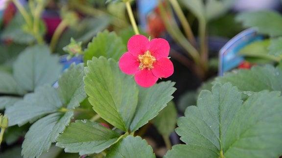 Blühende Erdbeerpflanze der Sorte 'Toscana'