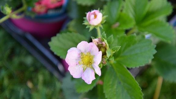 Weiß-rosa blühende Erdbeerpflanze