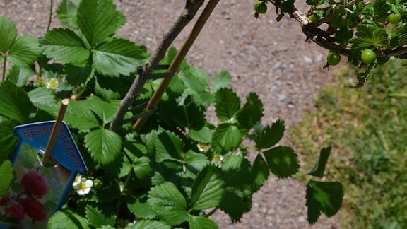 Unter einem Stachelbeerstrauch wurden Erdbeerpflanzen gesetzt.