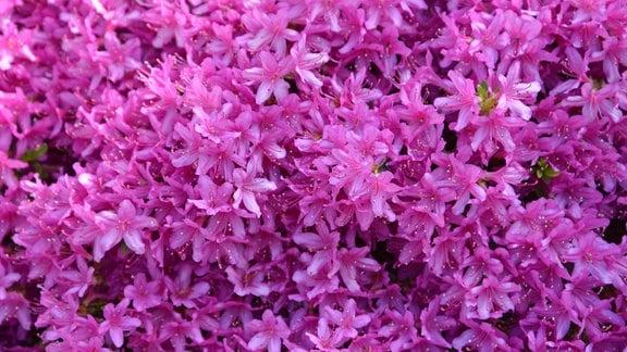 Dichte pinke Blüten der Azalee.