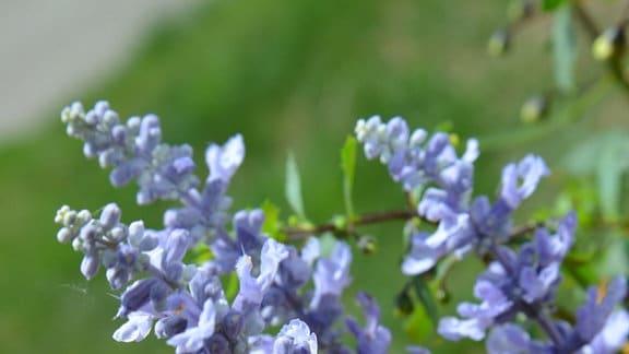 Blaue Blüten des Mehlsalbei