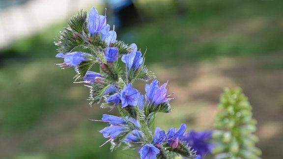 Blaue Blüten des Natternkopf