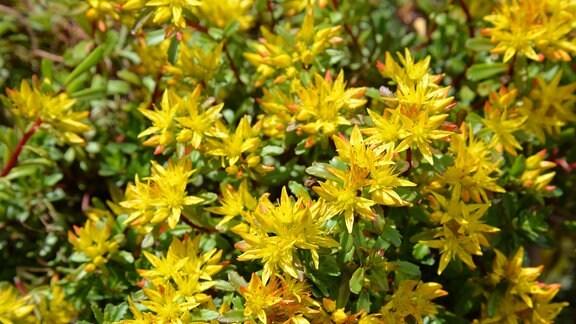 Gelbe Blüten der Fetthenne