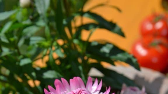 Rosarote Strohblumen