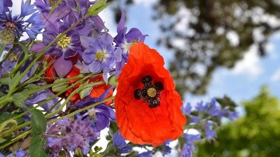 Blüte des wilden Mohn