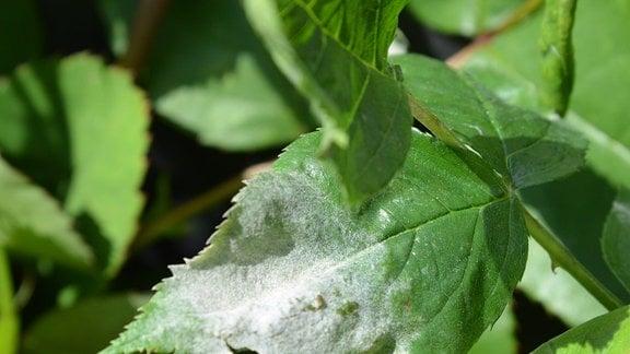 Mehltau Grüne Blätter mit mehligem weißen Belag