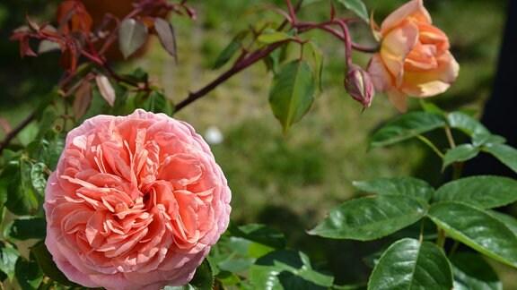 Rose Chippendale Gefüllte zart orangenfarbene Rose