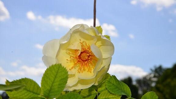 Rose Frühlingsgold Wildhybride Gelbe Rose