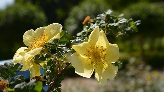 Rose Rosa hugonis Chinesische Goldrose Gelbe Rose
