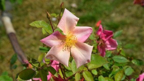 Rose Rosa Mutabilis Lachsfarbene Rose