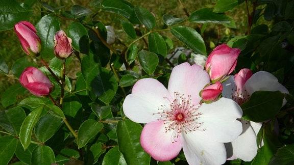 Rose Sweet Pretty Zartrose ungefüllte Blüte einer Rose