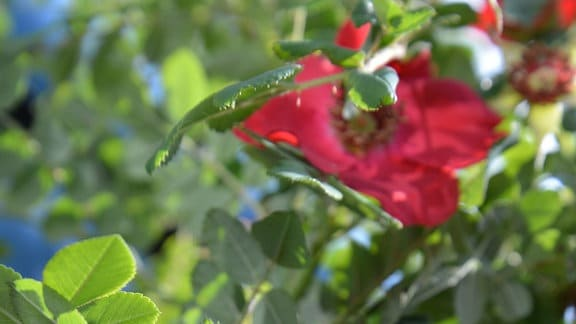 Wildrose Rosa Moyesii Granium - Pinke ungefüllte Wildrose