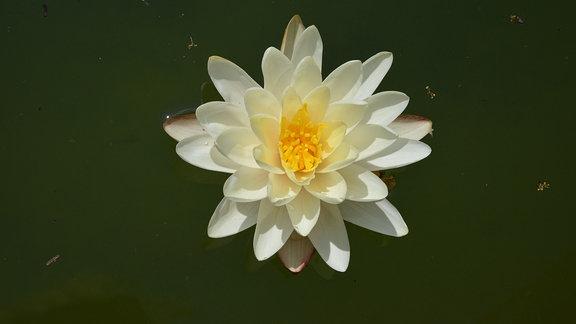 Gelbe Seerosenblüte.