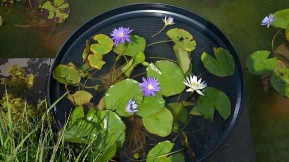 In einer flachen Schale schwimmen Seerosenblüten- und Blätter.