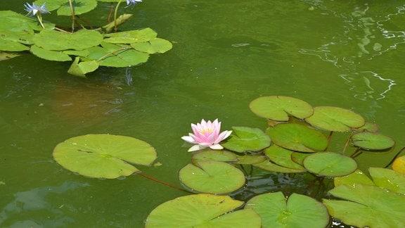 Seerosenblüte und Seerosenblätter auf dem Wasser.