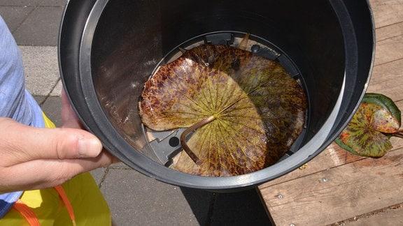 In einem Blumentopf liegt ein Seerosenblatt auf dem Topfboden.