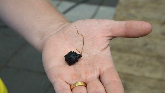 Auf einer Hand liegt eine kleine Knolle.