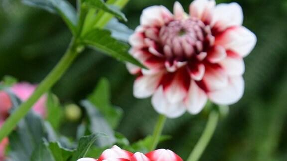 Rot weiße Dahlienblüte
