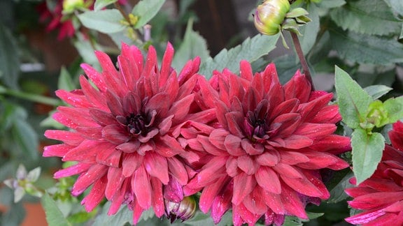 Dunkelrote Dahlienblüte