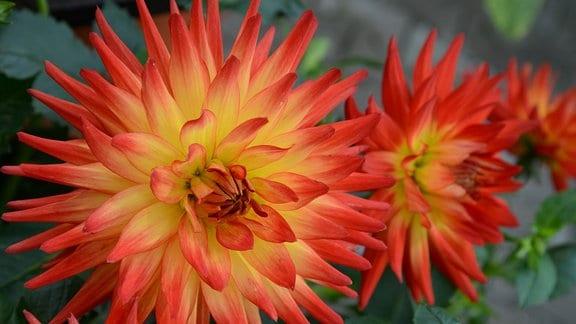 Orange-gelbe Dahlienblüte