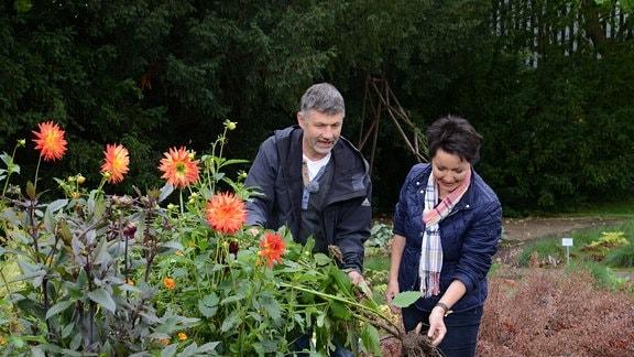 Ein Mann und eine Frau stehen in einem Blumenbeet und graben eine Dahlie aus.