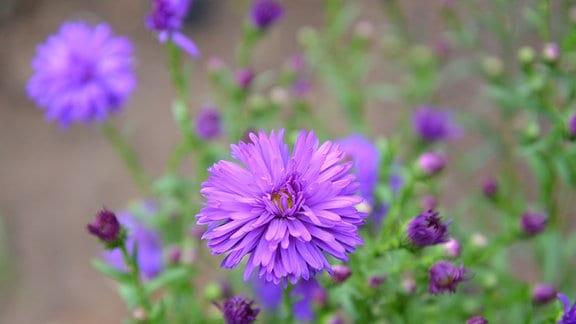 Gefüllte lila Astern-Blüten.