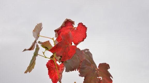 Rote Weinblätter
