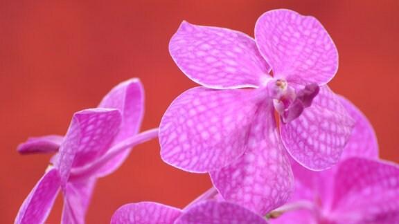 Rosarote Orchideenblüte mit einem netzartigen Muster in einem Ton der etwas dunkler ist.