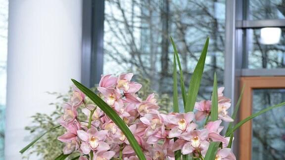 Eine dichte etwa einen Meter hohe Orchideenpflanze steht auf einem kleinen Blumentischchen. Die Pflanze hat viele rosa Blüten.