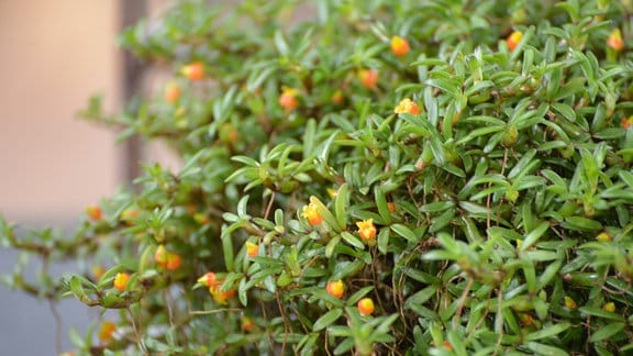 Orchidee mit schmalen kleinen Laubblättern und winzigen orangefarbenen Blüten. Die Orchidee sieht eher aus wie ein dichter Bodendecker