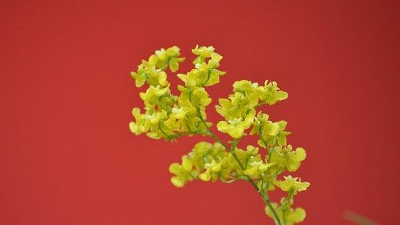 Sehr klein blühende Orchidee mit vielen zarten kräftig gelben Blüten. Die einzelne Blüte ist etwa einen halben Zentimeter groß.