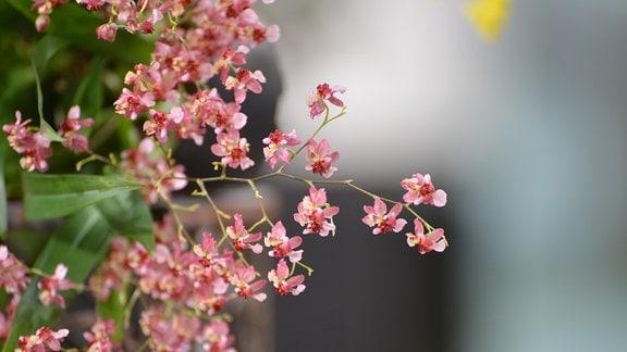 Sehr klein blühende Orchidee mit vielen zarten Blüten. Die einzelne Blüte ist etwa einen halben Zentimeter groß.