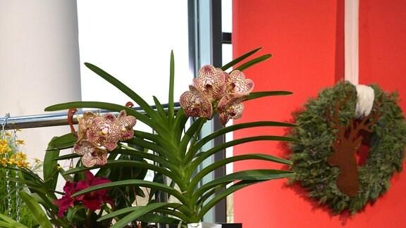Eine Orchidee hängt an einem Ständer und hat sehr lange wurzeln ausgebildet.  Die wurzeln sind deutlich länger als die Pflanze selbst groß ist