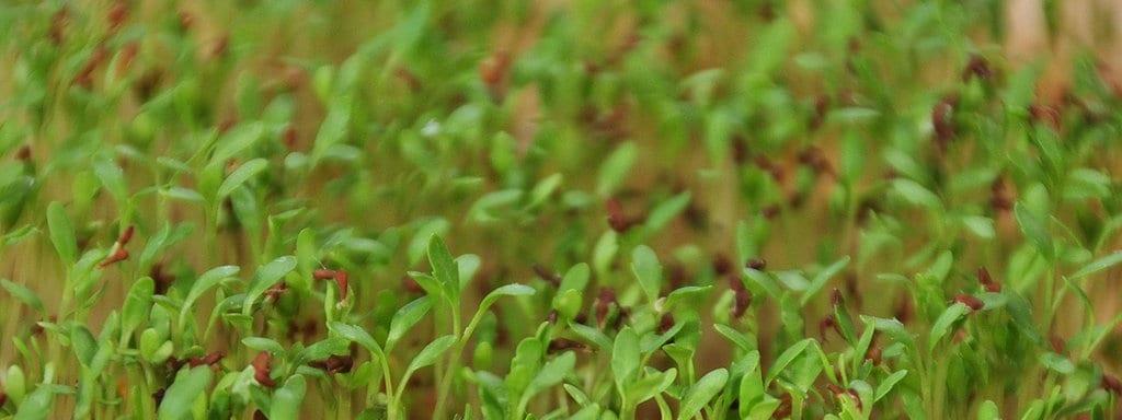 Top Kresse und Co.: Essbare Sprossen, Keimlinge und Grünkraut ziehen @IG_44