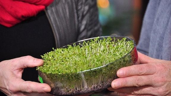 Eine Hand überreicht einer anderen Hand eine Ebene einer runden Keimsprossenbox mit Brokkoli-Sprossen