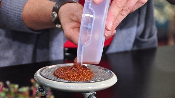auf einen Keramikteller mit Sieb wird eingeweichtes Saatgut aus einer Dose gegossen