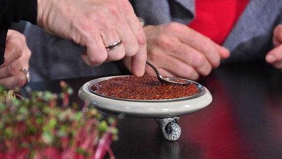 mit einem Löffel wird eingeweichtes Saatgut auf einem Metallsieb, das auf einem Teller liegt, verteilt