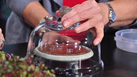 Über ein Sieb mit eingeweichtem Saatgut stülpt eine Hand eine Glasglocke
