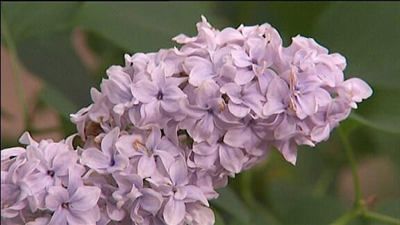 Fliederblüte der Sorte Carpe diem. Die Blüte ist fast weiß, hat nur eine ganz feine lila Färbung.